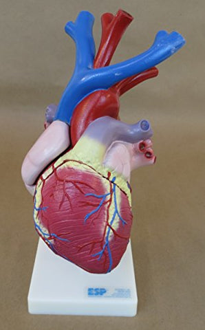 A642 Heart with major blood vessels