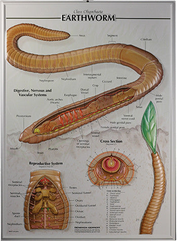 7503-RR Earthworm Poster - Raised Relief
