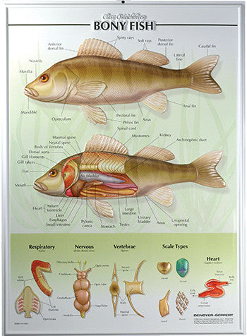 7504-RR Fish Poster - Raised Relief
