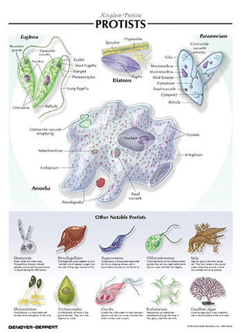 7505-08  Protists Poster