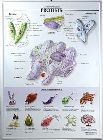 7505-RR  Protists Poster - Raised Relief