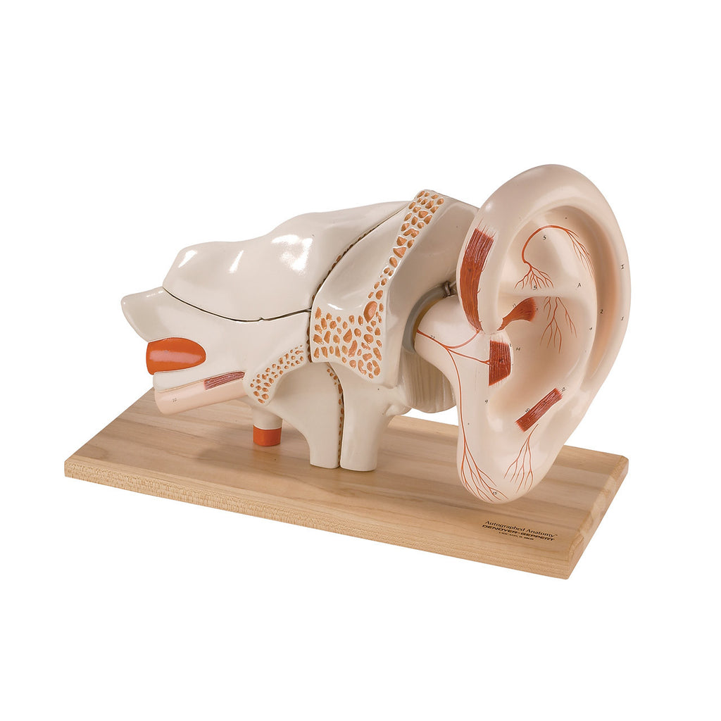 Deluxe Eight-Part Ear | Denoyer-Geppert Science Company