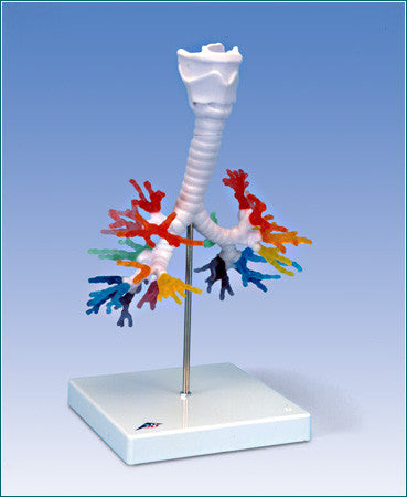 A423  Color-coded Bronchial Tree with larynx