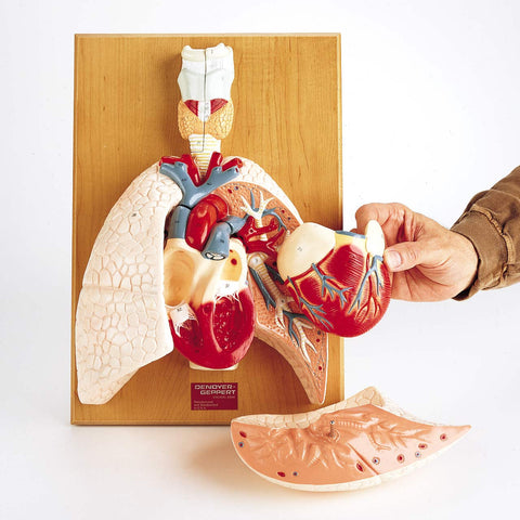 Cardiopulmonary plaque model