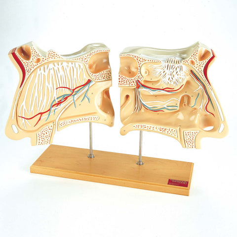 Nose and Olfactory Organ Model Set