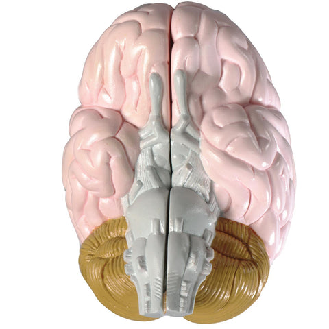 2-part life-size brain