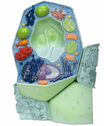 B53  Plant Cell Model
