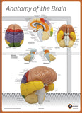 7170-08N Poster Size Brain Anatomy Chart NUMBERED