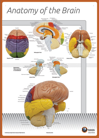 7170-08L Poster Size Brain Anatomy Chart LABELED