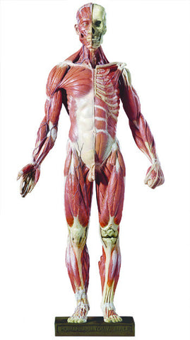 DT99 Desktop Anatomy Figure, 1/4 Scale