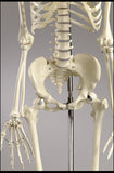 S55F Premier Academic Series Skeleton featuring female pelvis, 18 pc take-apart natural tone skull and hanging mobile stand.