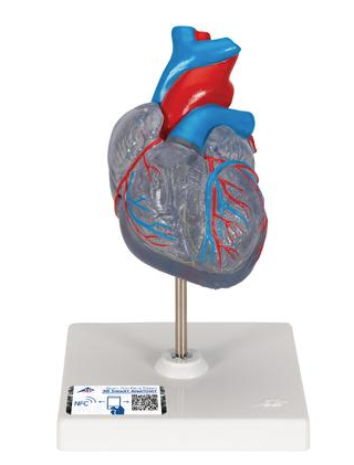 A383  Classic Heart with Conduction System