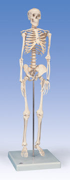 S180 Mini-Skeleton with flexible spine, 31 inch, sacral mount