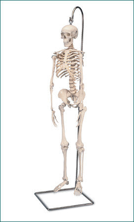 S181 Mini-Skeleton with flexible spine, hanging, 31 inch
