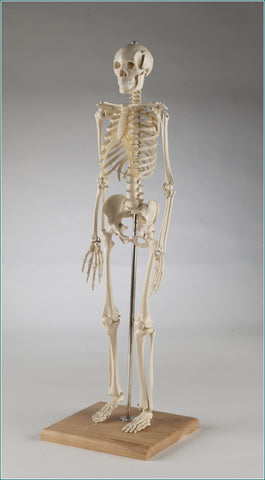 S28X  Mini-Skeleton with flexible spine, 28 inches