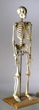 S28  28 inch Mini-Skeleton
