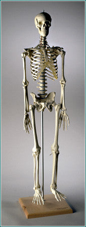 Mini-Skeleton with Spinal Nerves, 32 inches