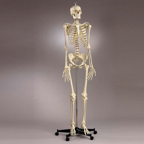 S54 Premier Academic Series Skeleton with natural tone 18 pc take-apart skull and sacral mount mobile stand