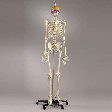 S55PF Premier Academic Skeleton, female pelvis, 18 pc color-coded skull, hanging mobile stand