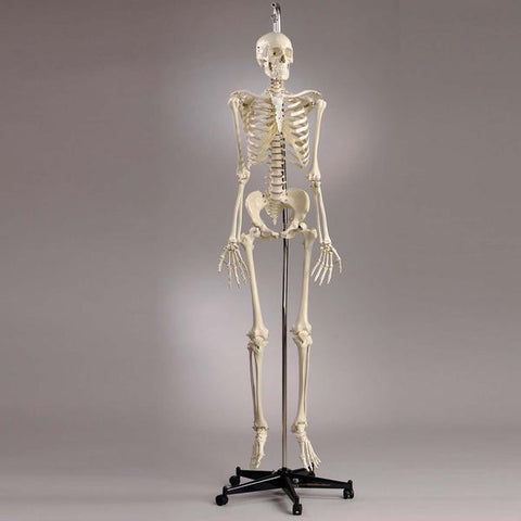S55 Premier Academic Series Skeleton featuring, 18 pc take-apart natural tone skull and hanging mobile stand