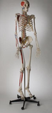 S58L Premier Academic Kinesiology Skeleton, Painted and labeled, sacral mount on mobile stand