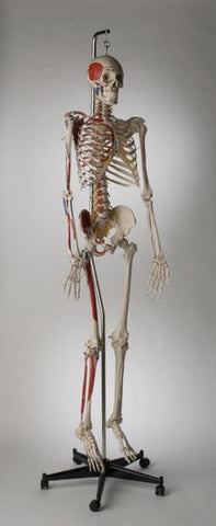 S59L Premier Academic Kinesiology Skeleton, Painted and labeled, hanging on mobile stand