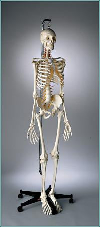 S59 Premier Academic Kinesiology Skeleton, hanging on mobile stand