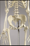 S61 Premier Academic Series Skeleton, male, unpainted, hanging mount