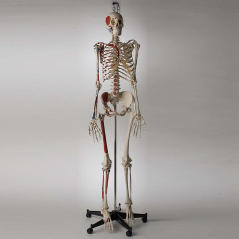 Premier Academic Series Skeleton with Hand-Painted and Labeled Muscle Attachments