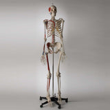 Premier Academic Series Skeleton with Hand-painted and Number-coded Muscle Attachments