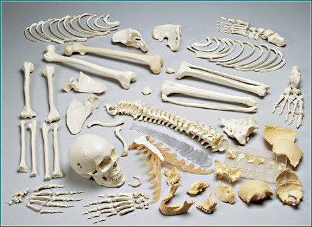 S70C Premier Double-Header Disarticulated Skeleton with case