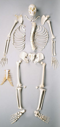 S72C Premier Disarticulated Skeleton- Plain with case
