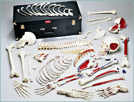 S73C Premier Disarticulated Skeleton, numbered coded muscle attachments and case