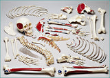 S72 Premier Disarticulated Skeleton- Plain