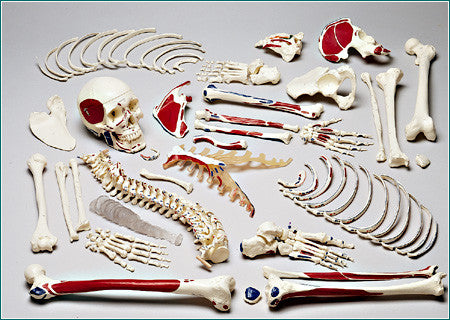 S73 Premier Disarticulated Skeleton, numbered coded muscle attachments