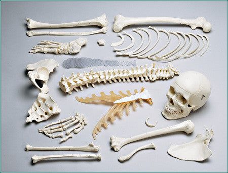 S76N Premier Numbered Disarticulated Half-Skeleton