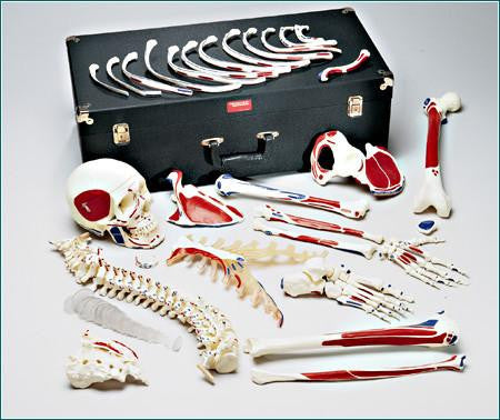 S77LC Premier Painted with Labeled Muscle attachments, Disarticulated Half-Skeleton with case