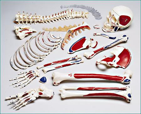 S77L Premier Painted with Labeled Muscle attachments, Disarticulated Half-Skeleton