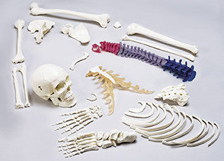 S78 Premier Disarticulated Half-Skeleton with Color-Coded Vertebrae