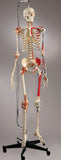 S83L Ultra Series Flexible Skeleton, Ultraflex ligaments, 6 points, Painted and labeled muscles, Hanging mount with mobile stand