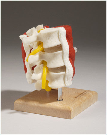 SA25  Lumbar Vertebrae with Muscles