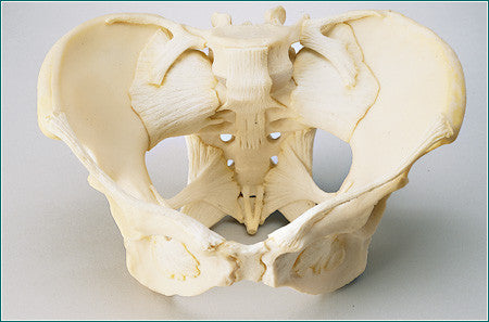 SA41  Adult Female Ligamented Pelvis