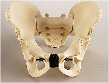SA42  Adolescent Take-Apart Pelvis