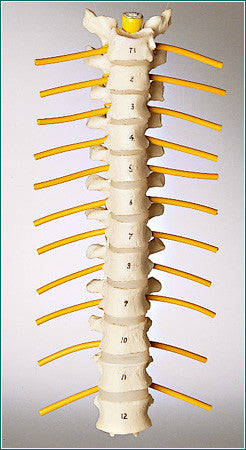 SA45  Thoracic Vertebrae Set