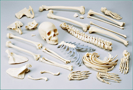 SA48C Female Disarticulated FULL Skeleton with case