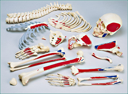 SA49PC Female Disarticulated HALF Skeleton painted and labeled with case