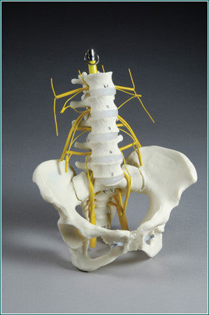 SA67 Lumbar Vertebral Section with Pelvis showing Lumbar and Sacral Plexus