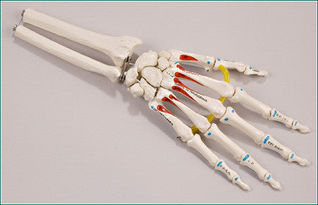 SB37 Elastic-mounted Hand Skeleton with Distal Radius and Ulna