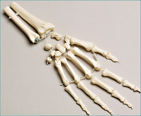 SB38-D Bones of One Hand with Distal Radius and Ulna