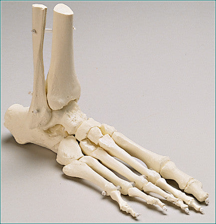 SB47 Premier Elastic-mounted Foot Skeleton with Distal Tibia and ...